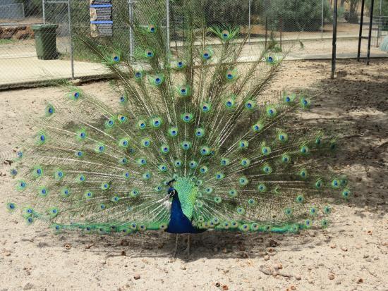 peacock picture of cohunu koala park byford tripadvisor. Black Bedroom Furniture Sets. Home Design Ideas