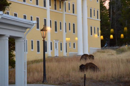Lake Yellowstone Hotel Dining Room: Bison Roam Right Outside The Hotelu0027s  Dining Room