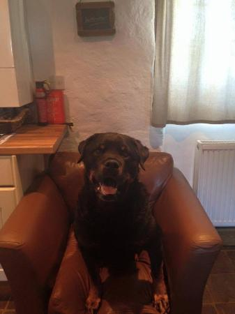 Brechfa, UK: Spike the Rottie refusing to leave!