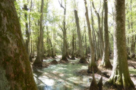 Natchez, MS: Cypress Swamp