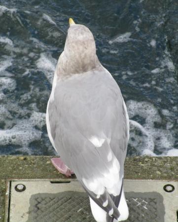 Hiram M. Chittenden Locks: Seagull on wall from above, Ballard Locks, Nov. 3, 2015
