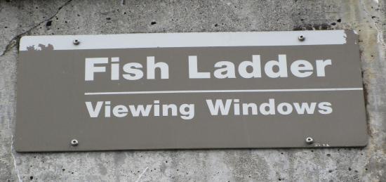 Hiram M. Chittenden Locks: Fish Ladder Viewing WIndow, Ballard Locks, Nov. 3, 2015