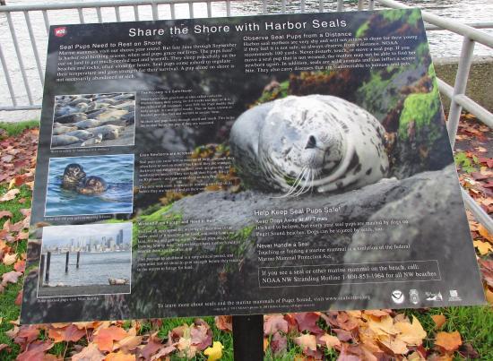 Hiram M. Chittenden Locks: Share the shore with Harbor Seals, Ballard Locks, Nov. 3, 2015