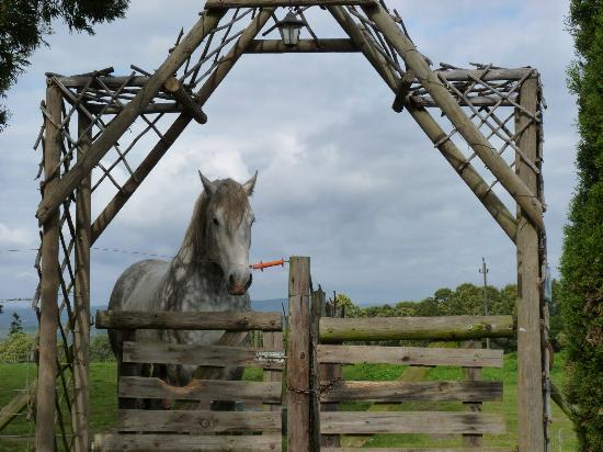 Outeniqua Moon Percheron Stud and Guest Farm: An inquisitive young stallion