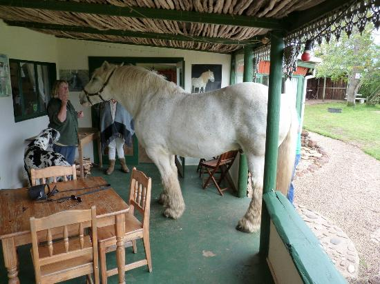 Outeniqua Moon Percheron Stud and Guest Farm: Bobbie on the front veranda!