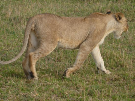 Mara Leisure Camp: mama lion