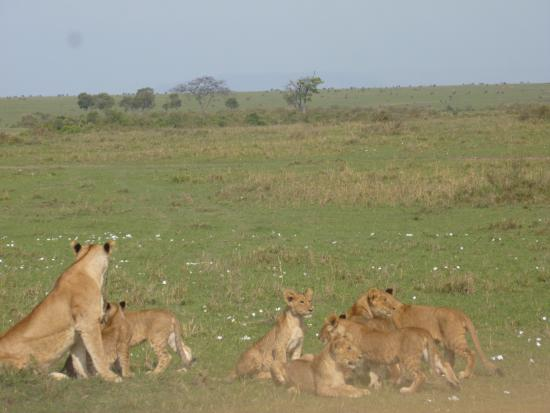Mara Leisure Camp: lion cubs
