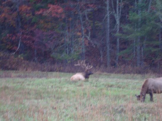 Tennessee: elk