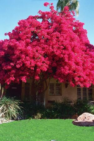 Desert Paradise Gay Men's Resort: Biggest Best Bougainvillea Ever