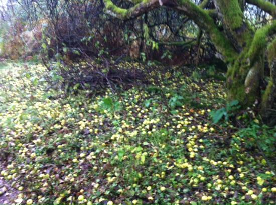 Kippford, UK: Fallen apples on the Muckle Ground