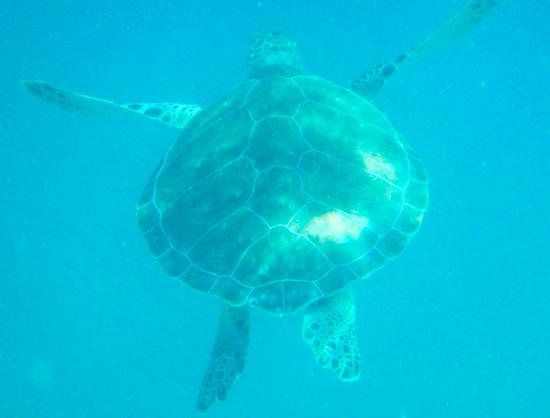 Oyster Pond, St. Maarten: giant turtle at Tintamarre Island