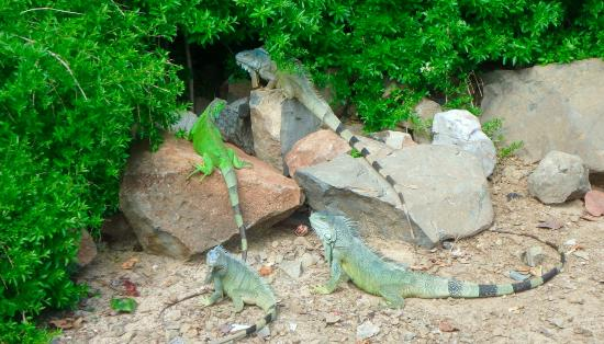 Oyster Pond, St-Martin/St Maarten: Iguanas on Pinal Island St Maarten