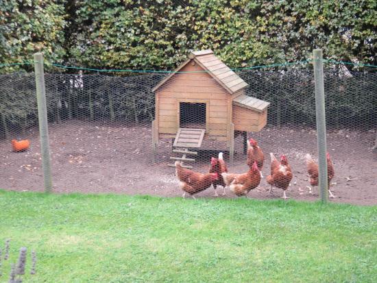 Oak Farm Barn: Resident Chickens