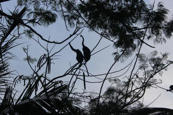 Sueno del Mar Beachfront Bed & Breakfast: Howler monkeys in the morning hours