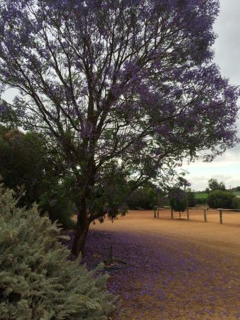 Glossop, Αυστραλία: The Jacaranda tree at Bella Lavender Estate
