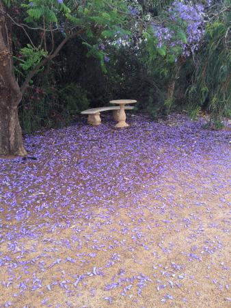 Glossop, ออสเตรเลีย: The Jacaranda tree at Bella Lavender Estate
