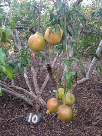 Kona Pacific Farmers Cooperative : pomegranate