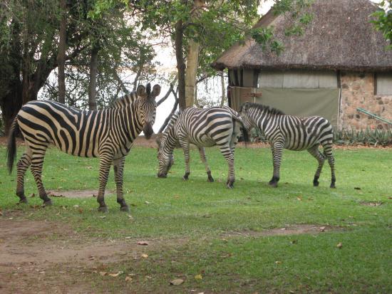 Kariba Bush Club: Is it black with white stripes ?