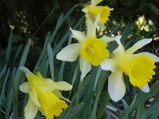 lac de grardmer jonquille fleur locale - Fleur Jonquille