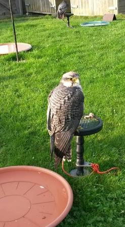 Woodlands Falconry and Bird of Prey Centre.: Young bird