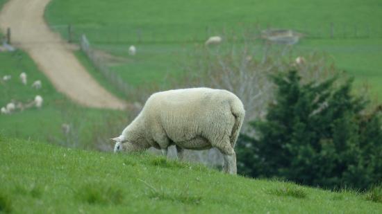 Pulau Waiheke, Selandia Baru: Sheep are here, too.
