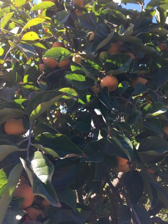 Pauma Valley, Kalifornien: Persimmon tree close up