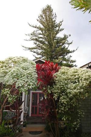 Makawao, Hawaje: Majestic Norfolk Pine