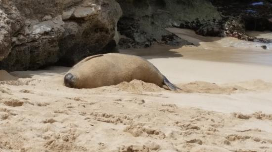 "Makaha Beach Cabanas : Pregnant Monk Seal (Endangered) on ""Turtle Beach"""