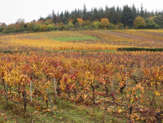 Les vignes à Mercurey