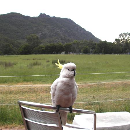 Kookaburra Motor Lodge: Visit from one of the many cockatoos.