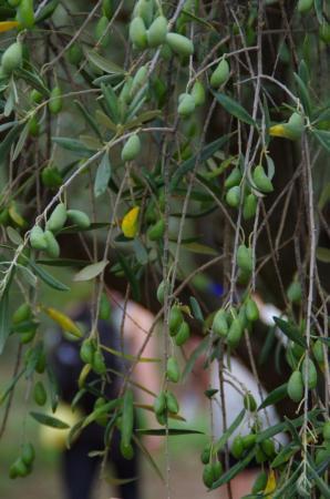 Roquebrun, Γαλλία: Découvrez notre oliveraie
