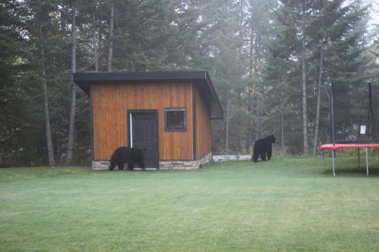 Canyon Ridge Lodge: Black bears in the garden 01