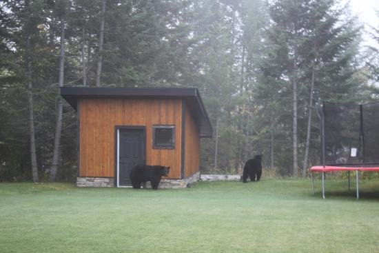 Canyon Ridge Lodge: Black bears in the garden 02