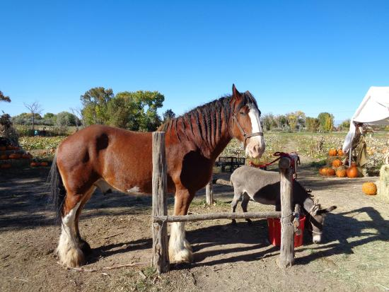 "Covered Bridge Ranch: Beautiful Clydesdale with pal ""Silver"" the mule"