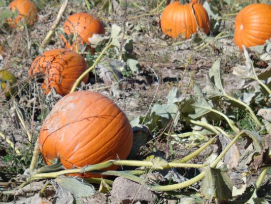 Covered Bridge Ranch: Part of the large pumpkin patch