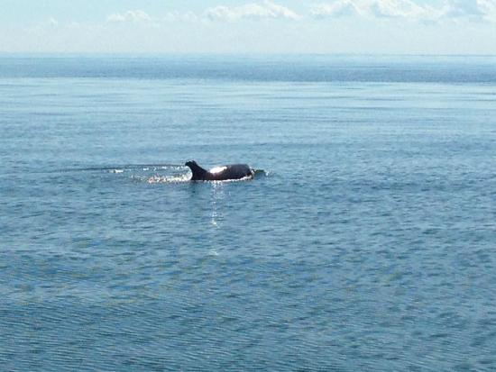 Tangier Island, Virginie : more dolphins