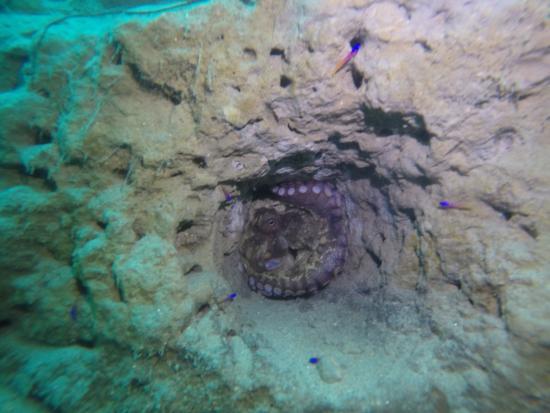 La Jolla Dive: octopus