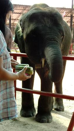 Ban Ta Klang Elephant Village: Feeding sugar cane to an elephant