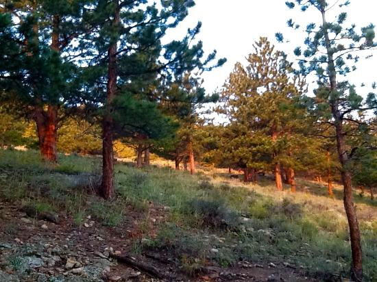 Machin's Cottages in the Pines: View of ponderosa pines from the cabin