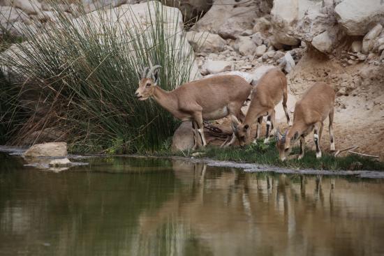 Zin River : Ibex drinking