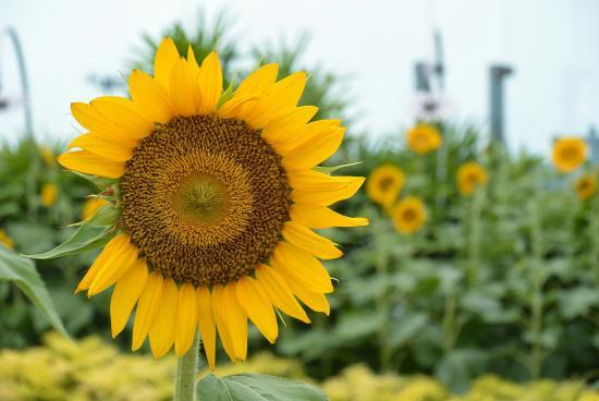 Bunga Matahari Picture Of Sunflower Garden Singapore Tripadvisor