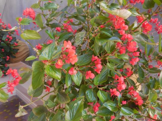 Bonsall, Kalifornien: Beautiful fuchsia plants outside.