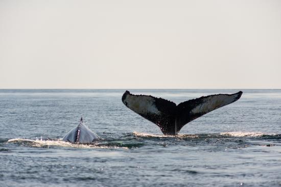 Grand Manan, Καναδάς: Humpbacks