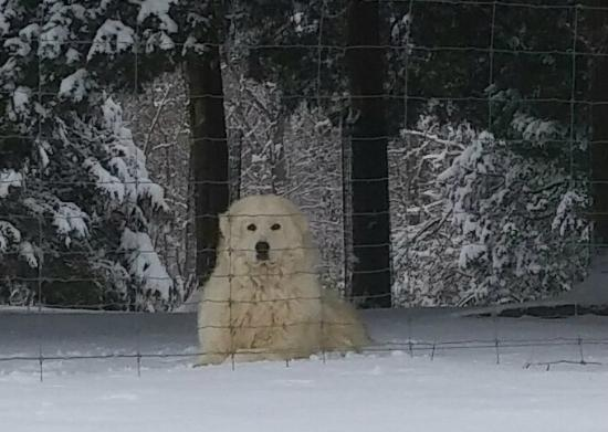 Red Oak, Вирджиния: Numerous Maremma livestock guard dogs work to protect all the farm creatures