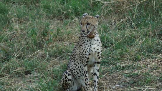 Shiduli Private Game Lodge: Cheetah, first day