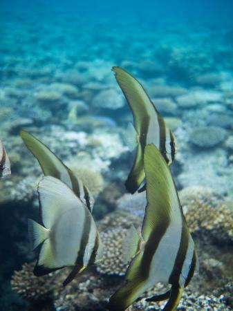 Lawaki Beach House: Teira Batfish