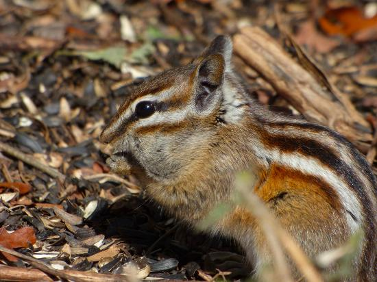 Randall Davey Audubon Center: Chipmunk cleaning up the birdseed