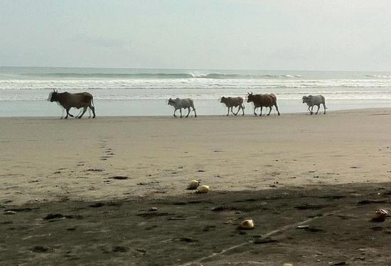 Popoyo Beach Lodge : Cows on the beach