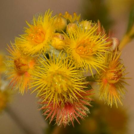 Gosnells, ออสเตรเลีย: Bristly Yellow Featherflower (Verticordia acerosa) on the Eagle View Trail
