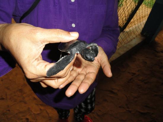 Bentota, Sri Lanka: A newly hatched turtle